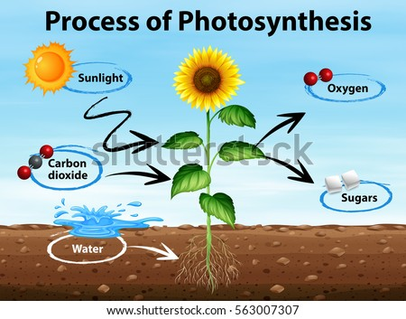 photosynthesis process diagram The process of photosynthesis in plants introduction: life on earth ultimately depends on energy derived from sun photosynthesis is the only process of biological importance that can harvest this energy literally photosynthesis means 'synthesis using light' photosynthetic organisms use solar energy to synthesize carbon.
