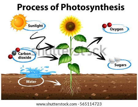 thylakoid oxygen photosythesis How does photosynthesis work the hydrogen ions and oxygen are released into the thylakoid lumen oxygen is later released into the atmosphere as a by-product of.
