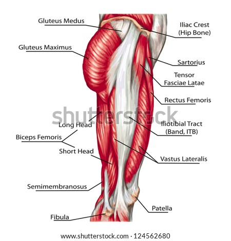didactic board of anatomy of leg human muscular system - stock vector