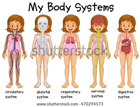 different systems in a human body How many systems are there in a human home health, human, science, world onurates 28 may 2012 2764 views all living creatures have different body systems for life.