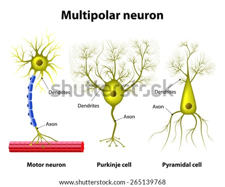 Different kinds of a multipolar neurons: pyramidal cell, Purkinje cell and motor neuron. Human anatomy - stock vector