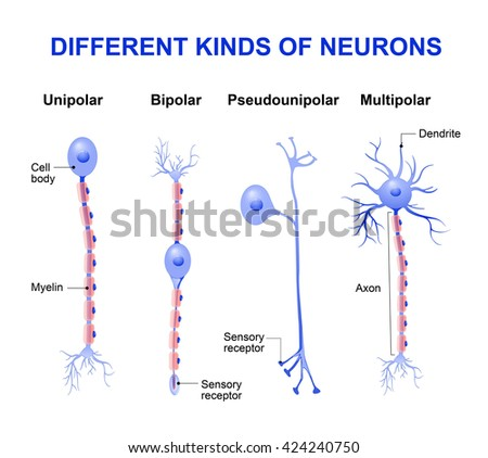 Different kinds of neurons - stock vector