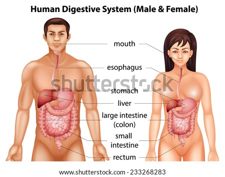 Digestive system humans stock vector royalty free 233268283 digestive system of humans ccuart Image collections