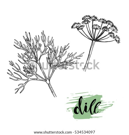Dill sketch illustration. Nice hand drawn dill plant with calligraphic name.