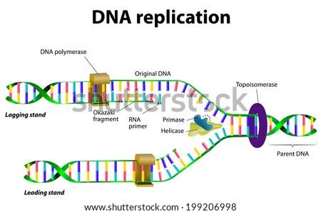 DNA replication. Vector diagram - stock vector