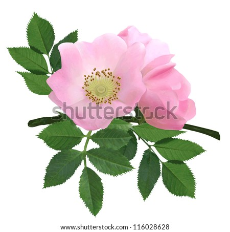 Dog-rose blooms - stock vector