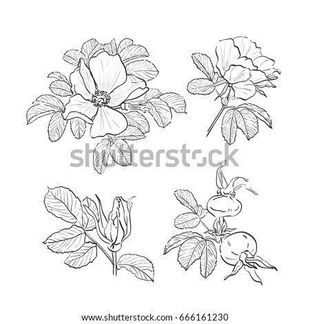 Dog Rose Drawing Flowers Hand Drawn Wild Isolated Botanical Drawings