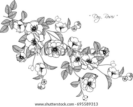 Dog roses flowers drawing illustration on stock vector royalty free dog roses flowers drawing illustration on white background mightylinksfo