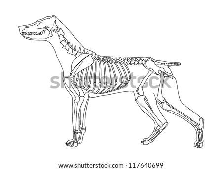 dog skeleton stock vector 117640699