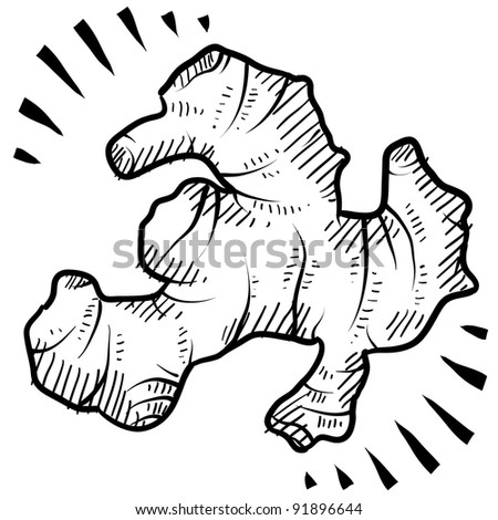 Doodle style fresh ginger root illustration in vector format - stock vector