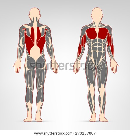 Dorsi, pectoralis, oblique and biceps muscles. Fitness training, man muscles workout.