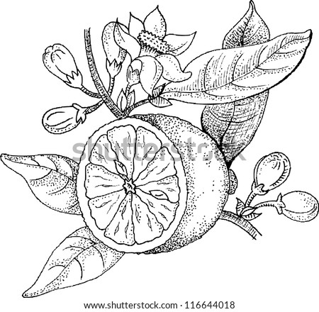 Drawings blossoming lemon - stock vector