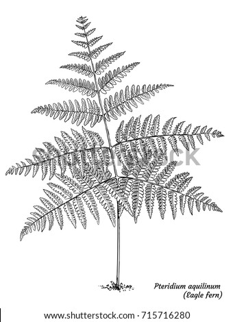 Pteridium Aquilinum Drawing