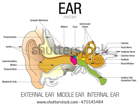 vector human ear anatomy classification outer stock vector, Sphenoid