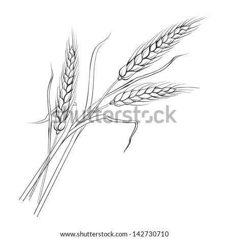 Ears of wheat. Iloated over white. Vector illustration. - stock vector