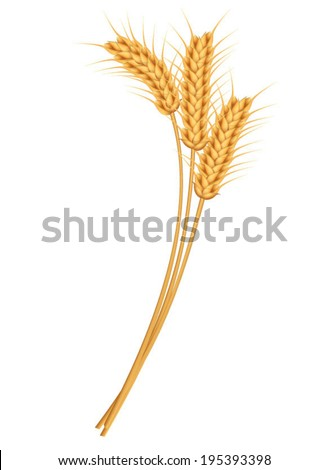Ears of wheat, rye or barley. Vector illustration. - stock vector