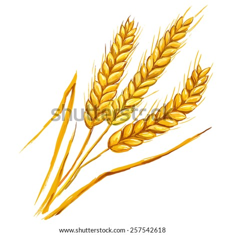 Ears of wheat vector illustration  hand drawn  painted watercolor - stock vector