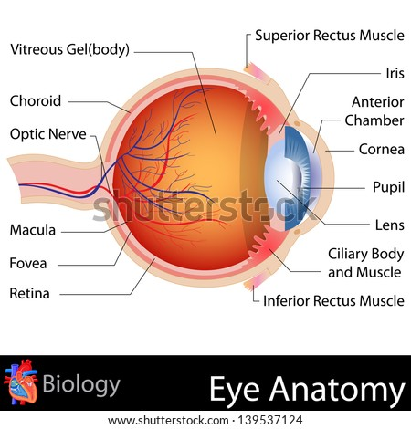 easy to edit vector illustration of anatomy of eye - stock vector