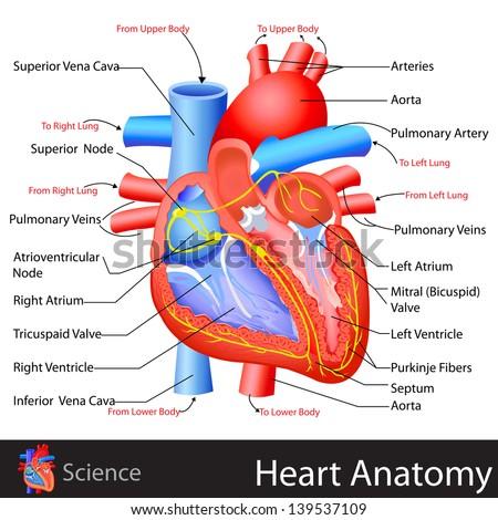 Easy Edit Vector Illustration Anatomy Heart Stock Vector Royalty