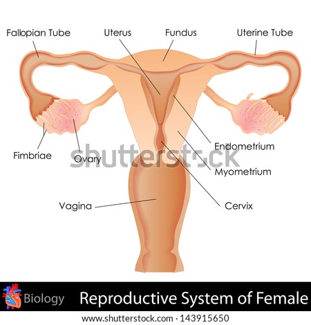 easy to edit vector illustration of female reproductive system - stock vector