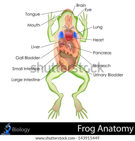 Easy Edit Vector Illustration Frog Anatomy Stock Vector HD (Royalty ...
