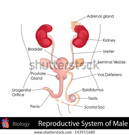 easy to edit vector illustration of male reproductive system