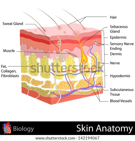 Simple human muscle diagram - photo#55