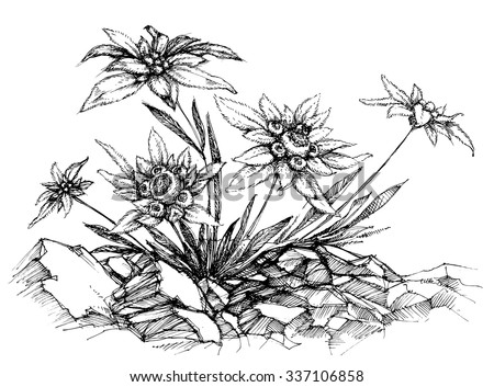 Edelweiss etch - stock vector