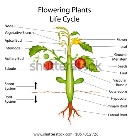 Education chart biology flowering plants diagram stock vector education chart of biology for flowering plants diagram vector illustration ccuart Images
