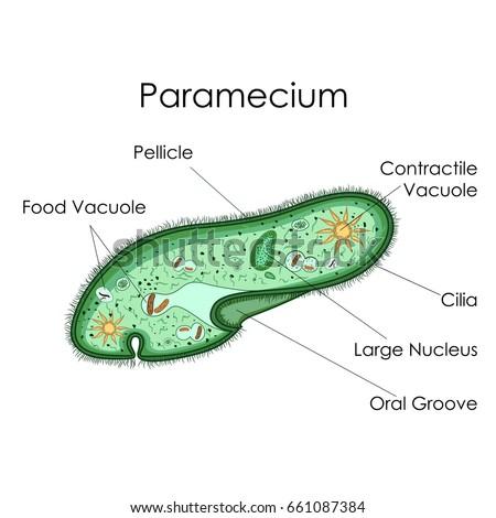 paramecium cell 3d - photo #14