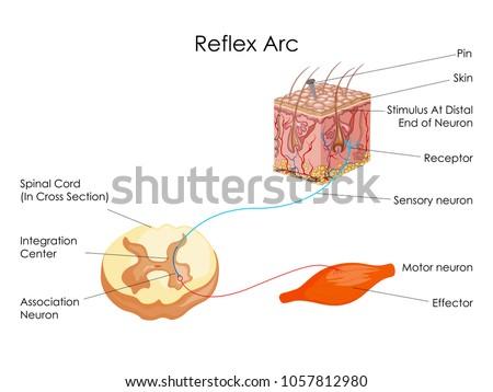Education chart biology reflex arc diagram stock vector 1057812980 education chart of biology for reflex arc diagram vector illustration ccuart Gallery