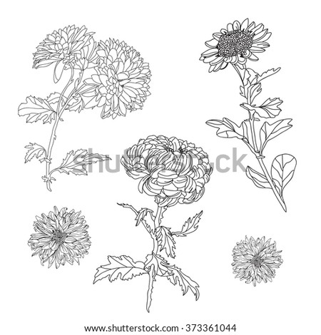 Elegant decorative chrysanthemum flowers set, design elements. Floral branches. Floral decorations for vintage wedding invitations, greeting cards, banners. - stock vector