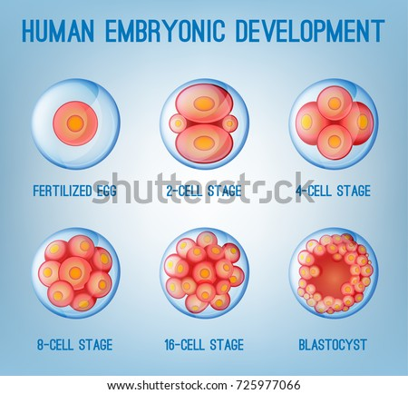 the stages in the beginning and development of the human body Biology 1001 - chapter 22 part 1 development  animals that share the first four stages of embryonic development  of human development that is most crucial in .