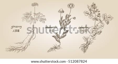 Engraving illustration of set of medicinal herbs in sepia: ginseng, chamomile, celandine