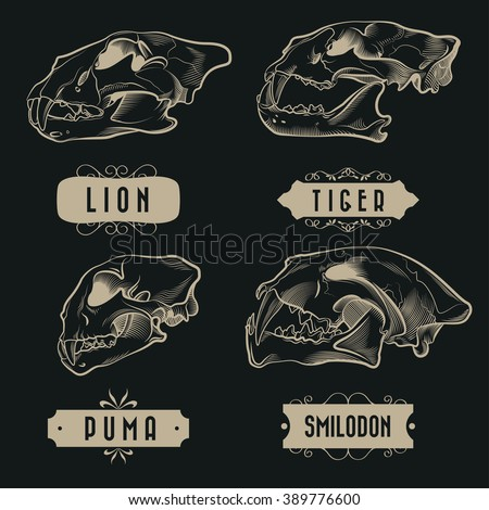 Engraving Predatory Animals Skulls Set - Lion, Tiger, Puma, Prehistoric Tiger  - stock vector