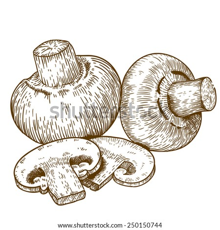 engraving vector illustration of champignons on white background - stock vector