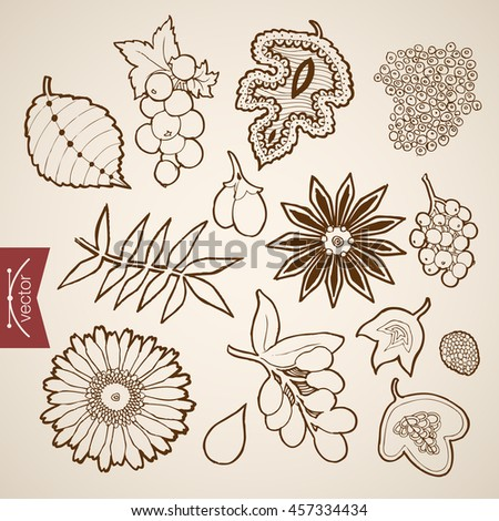 Engraving vintage hand drawn vector leaves collection. Pencil Sketch viburnum berry fruit leaf herbarium illustration.