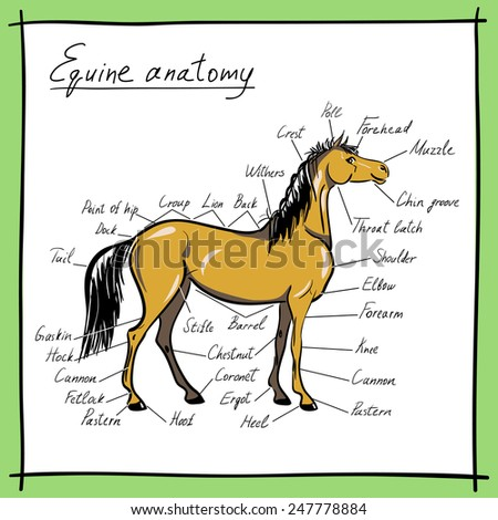 Horse Anatomy Stock Images, Royalty-Free Images & Vectors ...