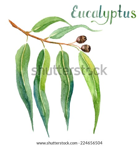 Eucalyptus leaves and branch watercolor hand drawn vector illustration - stock vector