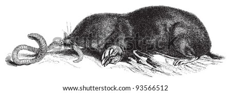European Mole (Talpa europaea) / vintage illustration from Meyers Konversations-Lexikon 1897