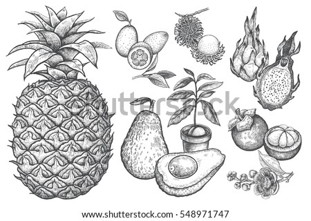 Exotic fruit kumquat, pineapple, dragonfruit, rambutan, mangosteen, cherimoya, avocado. Black and white illustration art. Vector hand drawing isolated on white background. Style vintage engraving.