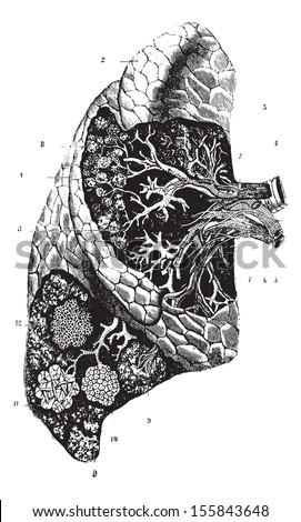 External confirmation, internal organization and structure of the lung, vintage engraved illustration. Usual Medicine Dictionary by Dr Labarthe - 1885. - stock vector