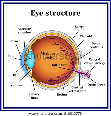 Eyeball structure.