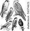 Falco - stock vector
