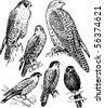 Falco - stock photo