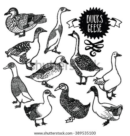 Farm birds Ducks and geese - stock vector
