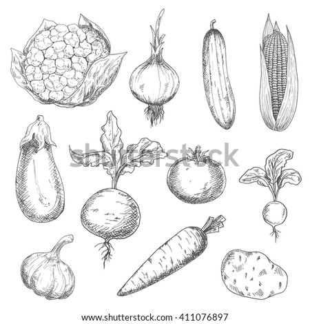 Farm fresh sweet corn, carrot and beetroot, ripe tomato and cauliflower, spicy onion, garlic and radish, tasty potato and eggplant, succulent cucumber vegetables sketches. Engraving stylized veggies