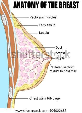 Female breast anatomic cross section (for basic medical education, for clinics & Schools), vector illustration
