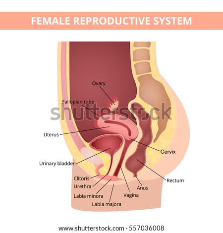 Female anatomy stock images royalty free images vectors female internal genital organs sectional structure of the female reproductive system ccuart