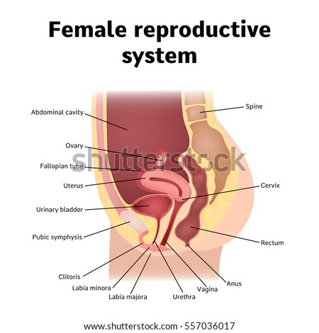 Female reproductive system   Diseases of the human body